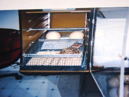 Eggs in an in incubator